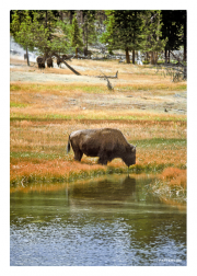 Bison at a Watering Hole