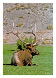Elk on Break