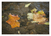 Fall Leaves in Stream