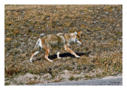 Coyote takes a stroll