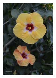 Orange & Yellow Hibiscuses
