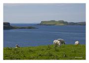Isle of Skye with Sheep