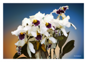 White & Purple Orchids