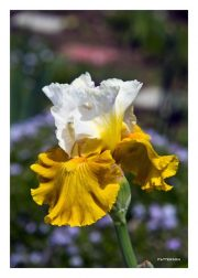 White & Yellow Iris