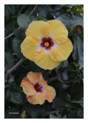 Orange & Yellow Hibiscuses