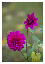 Fuschia Flowers in Gardens of Chateau de Angers