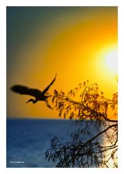 Egret takes flight at sunset