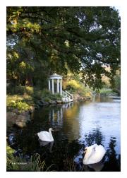 Swans at Morris Arboretum